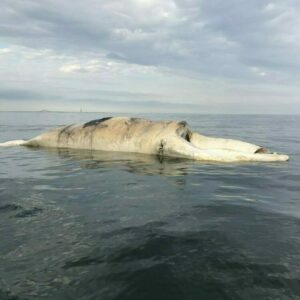 DEAD NORTH ATLANTIC RIGHT WHALE REPORTED NEAR FIRE ISLAND INLET